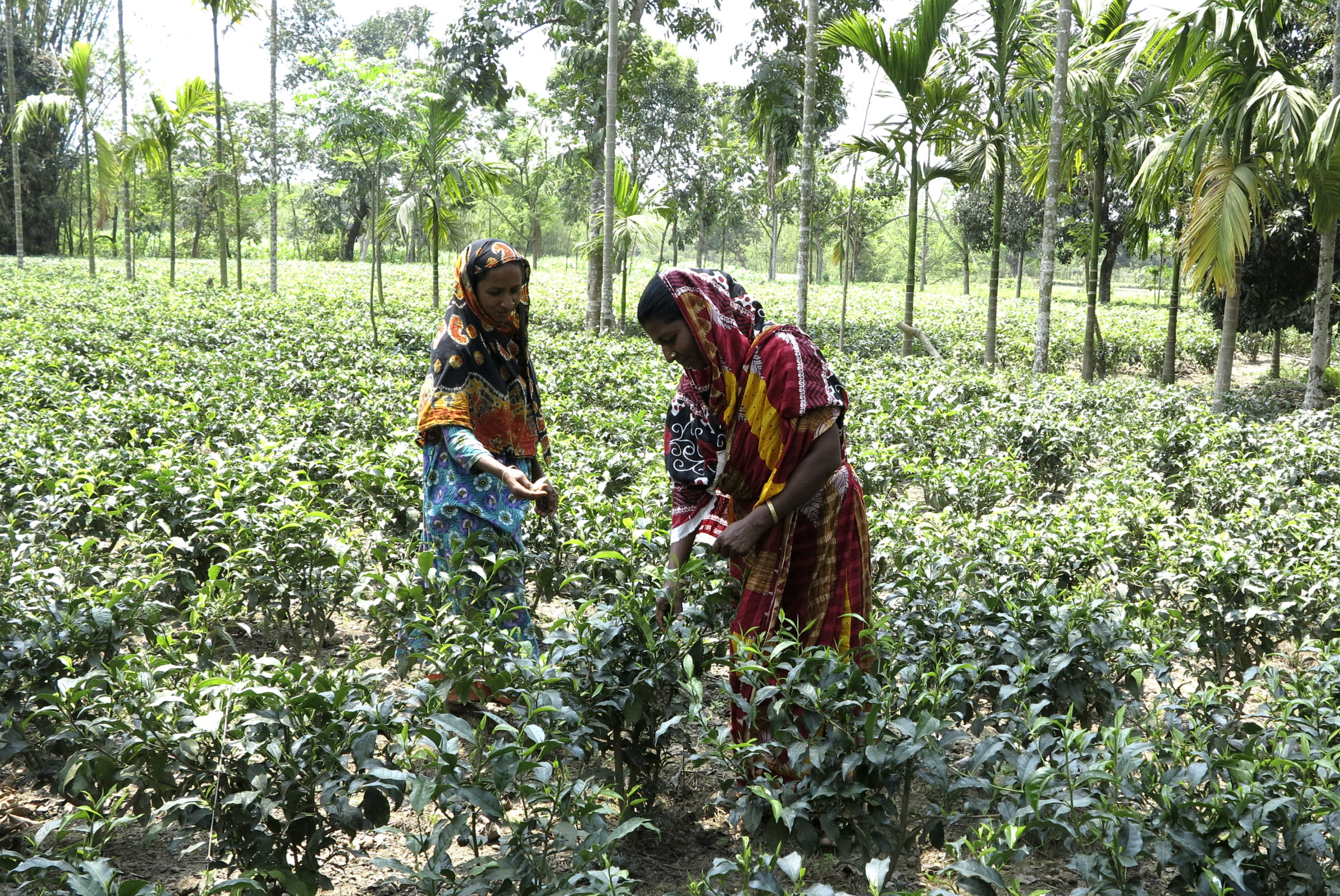 Women picking tea in Bangladesh