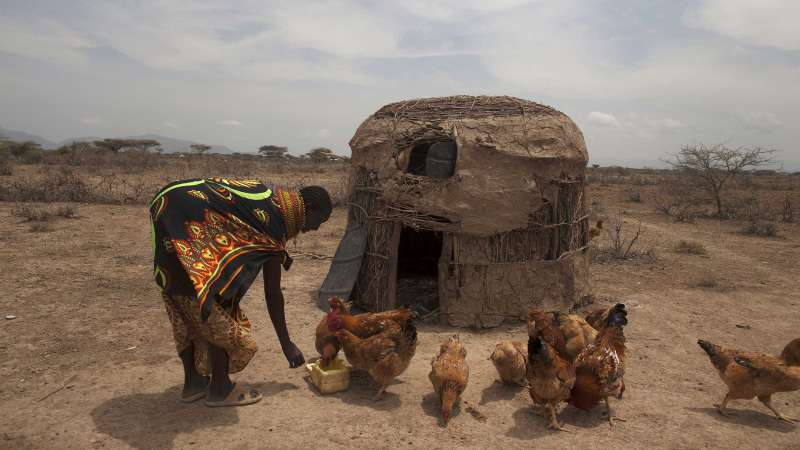 Kenyan woman feeding chickens