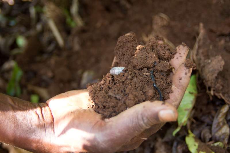 A farmer in Burundi holds a handful of soil to show how its quality has improved with the introduction of mulching