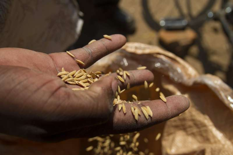 Hand holding grains of Kilombero rice, grown as part of a value chain project in Malawi