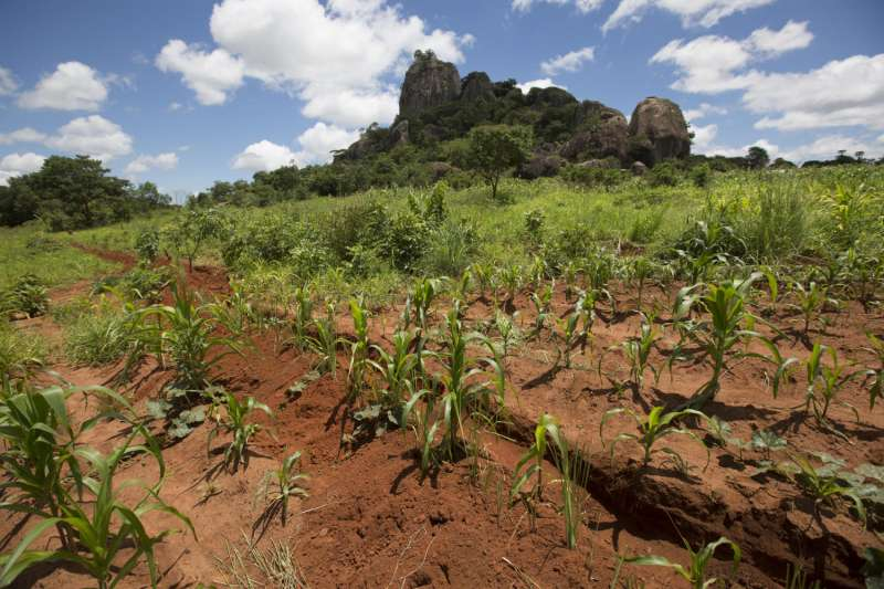 Healthy crops in Malawi