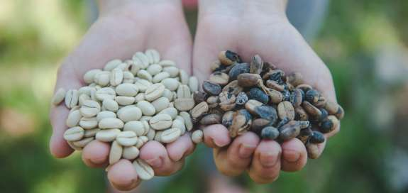 Two hands hold coffee beans - one hand has ripe coffee, the other unripe