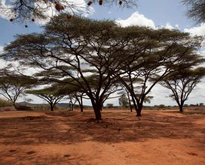 A group of Acacia trees in a desert area in Ethiopia