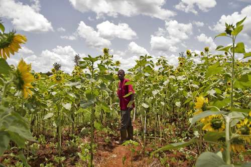 A farmer in a sunflower field in Burundi