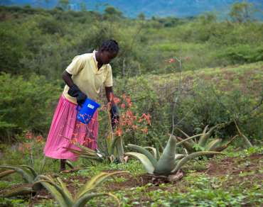 Kaliso Gezahegn waters her aloe vera plants on her farm, Ethiopia