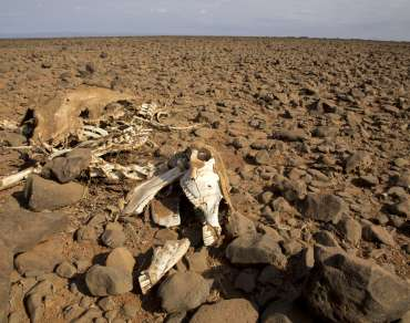 Donkey skeleton on dry soil
