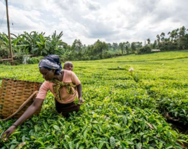 Woman picks tea in Kenya