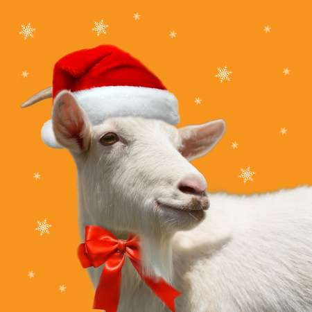 A white goat with a Christmas hat on it's head stands against an orange background